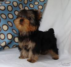 AKC Mini Healthy Yorkie Puppies