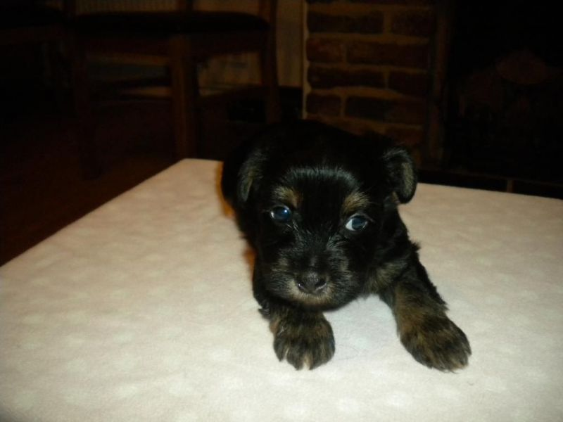 Xmass male and female yorkie puppies for sale at (657) 232-2222