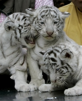 We have very healthy and gorgeous lion and tiger cubs for sale to experienced and loving families