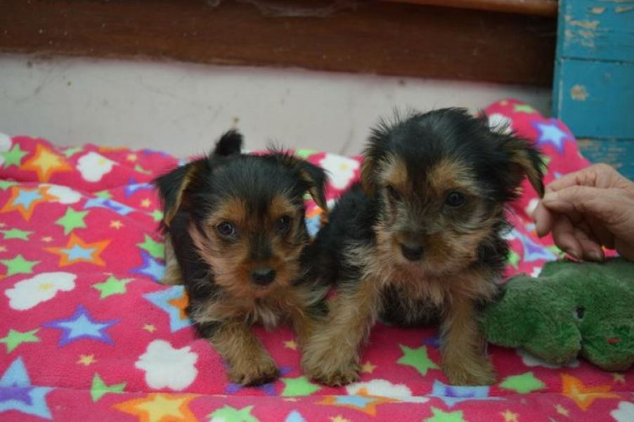 SEXY AKC YORKIE PUPPIES FOR SALE.......678-881-4735