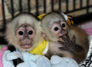 Capuchin,Squirrel,spider & marmoset monkeys available for adoption