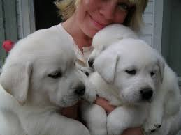 Male and Female Golden Labrador Puppies Ready now.